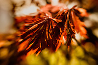 Japanese maple leaves swaying in the a gentle autumn breeze.