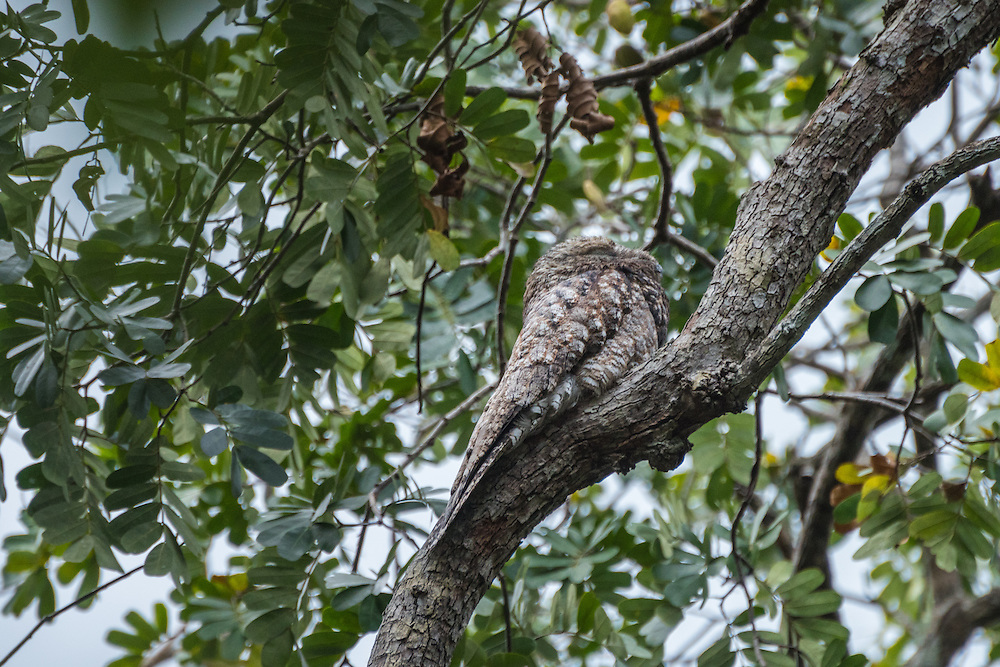 Great Potoo is perched against the stem of a tree, Rupununi, Guyana.