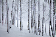 Snow covered aspen trees in winter.