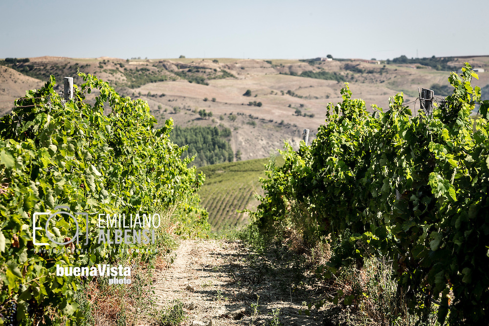 Barile, Basilicata, Italia, 2016<br /> Vitigni di Aglianico del Vulture, vino DOC prodotto nella zona del Vulture, in provincia di Potenza (Basilicata), pronti per la vendemmia.<br /> <br /> Barile, Basilicata, Italy, 2016<br /> Vineyards of the Aglianico del Vulture, an Italian red wine produced in the Vulture area of Basilicata, ready for the grape harvest . The Aglianico wine was awarded Denominazione di Origine Controllata (DOC) status in 1971 and the Denominazione di Origine Controllata e Garantita (DOCG) status in 2011.
