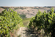 Barile, Basilicata, Italia, 2016<br /> Vitigni di Aglianico del Vulture, vino DOC prodotto nella zona del Vulture, in provincia di Potenza (Basilicata), pronti per la vendemmia.<br /> <br /> Barile, Basilicata, Italy, 2016<br /> Vineyards of the Aglianico del Vulture, an Italian red wine produced in the Vulture area of Basilicata, ready for the grape harvest . The Aglianico wine was awarded Denominazione di Origine Controllata (DOC) status in 1971 and the Denominazione di Origine Controllata e Garantita (DOCG) status in 2011.