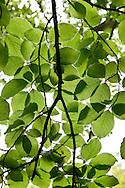 Fagus sylvatica (common beech), RBG Kew, Richmond.