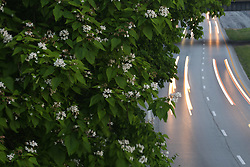 Catalpa Tree off Interstate 64, Tuesday, May 16, 2017 at Payne Street in Louisville.