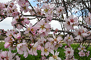 Almond blossom (Prunus dulcis) Photographed in Israel in March. This tree flowers before it produces leaves