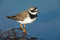 Common Ringed Plover, De Hoop Nature Reserve, Western Cape, South Africa
