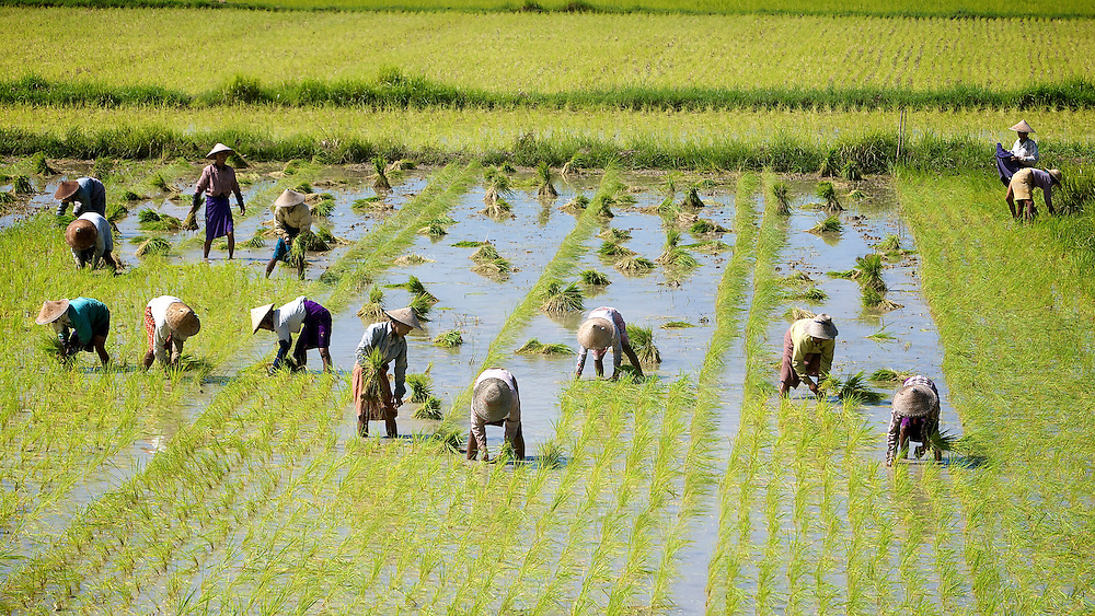 Rice fields on the way to Pying U Lwin, Myanmar.