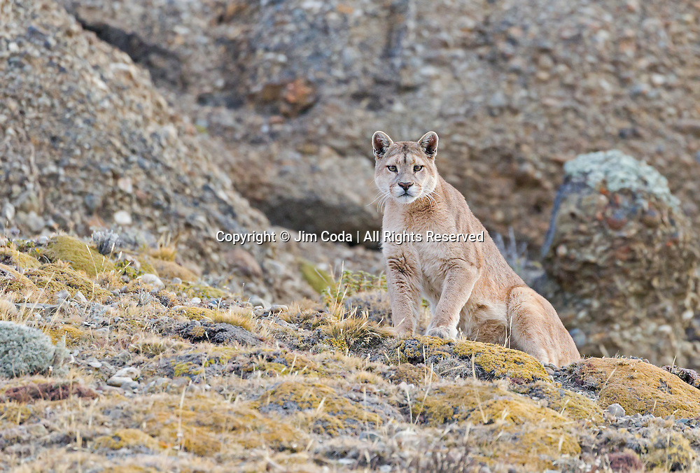 A puma greets a guest in Torres del Paine National Park.