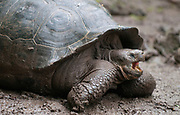 Galapagos Giant Tortois, Chelonodis nigra. Unidentified subspecies