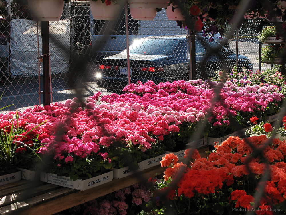 June 29, 2008 - Ottawa, ON. Geraniums in the flower shops on the Byward Market in Ottawa. Byward Market is a tourist attraction and a shopping area in Ottawa, Capital of Canada.