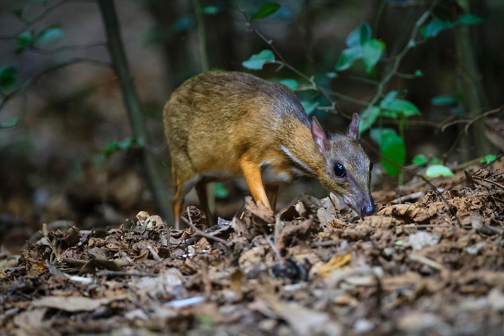 Lesser Oriental Chevrotain (Tragulus kanchil) searching for food in the forest floor. Kaeng Krachan National Park. Thailand.