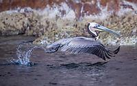 Brown Pelican in Isla San Pedro Martir Biosphere Reserve in the Gulf of California, Mexico.