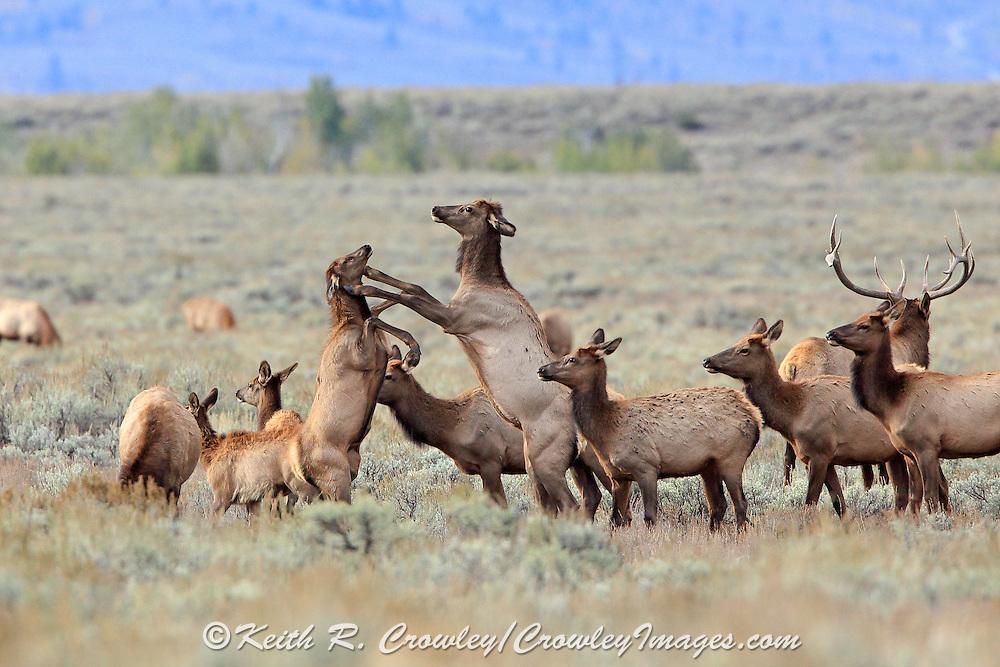 Photo series of cow elk fighting