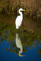 Great Egret and Reflection at Merritt Island Wildlife Refuge. Image taken with a Nikon D3 and 70-200 mm f/2.8 VRII lens and TC-E III 20 teleconverter (ISO 200, 290 mm, f/5.6, 1/640 sec)