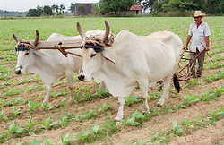 Farmer ploughing field with oxen; Cuba,