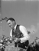 11/10/1958<br /> 10/11/1958<br /> 11 October 1958<br /> Special for Irish Shell, Mr. W. Vaughan, 15 Chestnut Road, Mount Merrion, Dublin pictured in his garden picking apples.