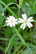 Greater Stitchwort - Stellaria holostea, Stoke Woods, Bicester, Oxfordshire owned by the Woodland Trust