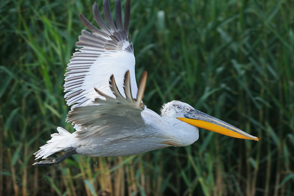 Dalmatian pelican, Pelecanus crispus, Danube delta rewilding area, Romania