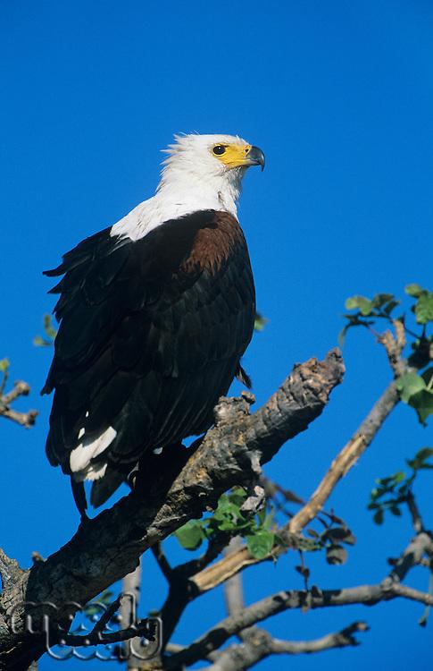 Sea Eagle perched in tree