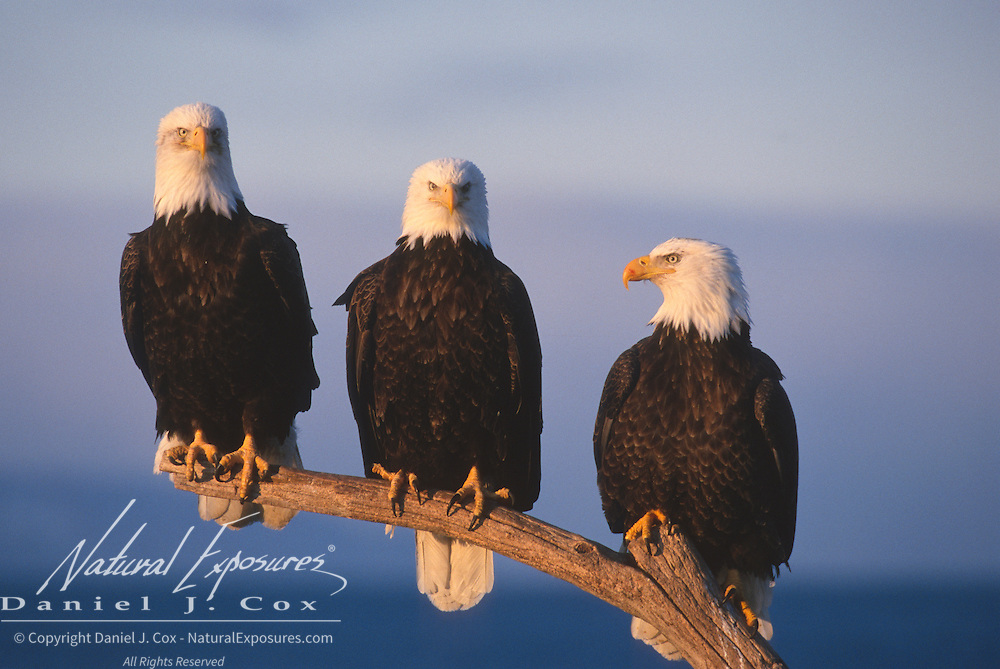 Bald eagle (Haliaeetus leucocephalus) adults perched on a branch. Alaska
