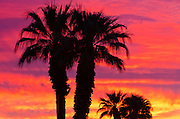 Silhouetted palms at sunrise, Anza-Borrego Desert State Park, California USA