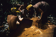 PENAN SAGO, MALAYSIA. Sarawak, Borneo, South East Asia.Baru's family, nomadic Penan retrieving flour from the sago root, 1989<br /> <br /> Tropical rainforest and one of the world's richest, oldest eco-systems, flora and fauna, under threat from development, logging and deforestation. Home to indigenous Dayak native tribal peoples, farming by slash and burn cultivation, fishing and hunting wild boar. Home to the Penan, traditional nomadic hunter-gatherers, of whom only one thousand survive, eating roots, and hunting wild animals with blowpipes. Animists, Christians, they still practice traditional medicine from herbs and plants. Native people have mounted protests and blockades against logging concessions, many have been arrested and imprisoned.