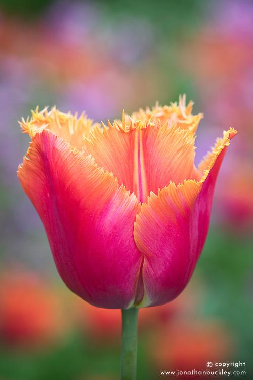 Tulipa 'Aleppo'