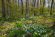 Great white trilliums (Trillium grandiflorum) in hardwood forest<br /> Bruce Peninsula National Park<br /> Ontario<br /> Canada