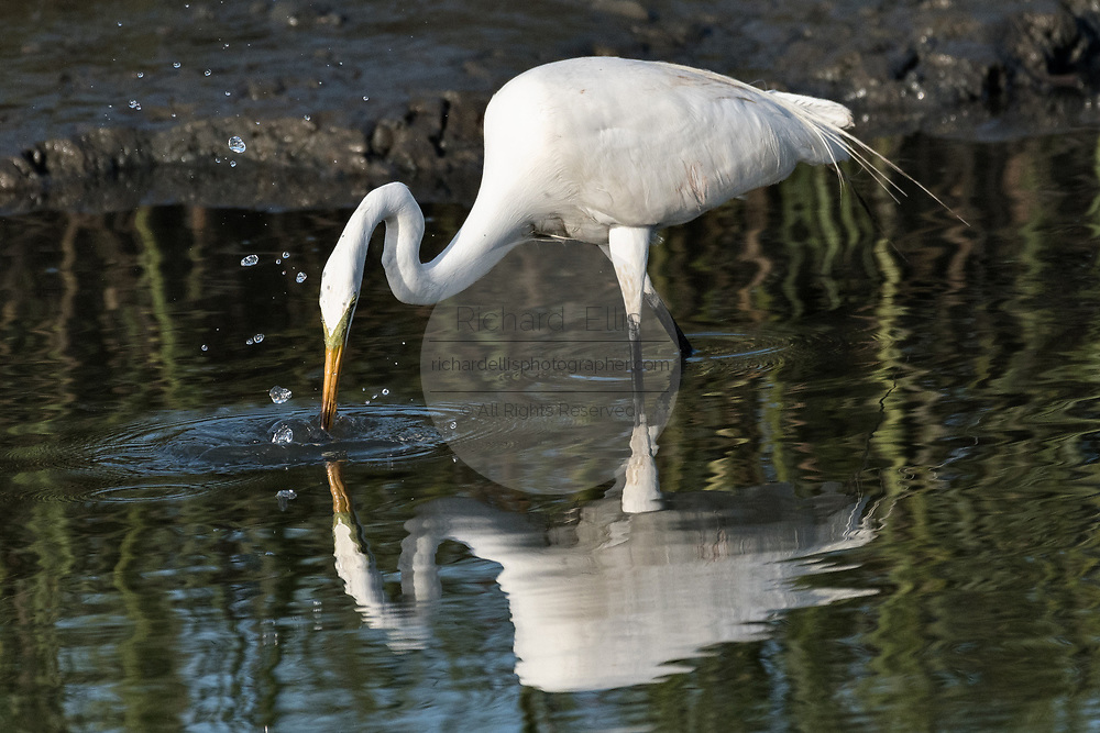 A great egret also called a great white heron is reflected as it hunts for fish in the salt marshes of the Cape Romain National Wildlife Refuge near Charleston, South Carolina. The 66,287 acre National Wildlife Refuge encompass water impoundments, creeks, bays, emergent salt marsh and barrier islands most of which is only accessible by boat.