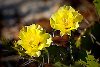 The large, showy flowers of the eastern prickly pear cactus in full bloom in Sebring, Florida - near Lake June-in-Winter.