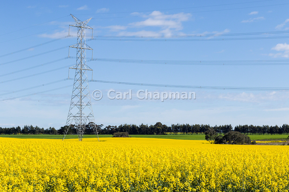 Power line transmission tower in field of flowering canola crop in rural country Victoria, Australia