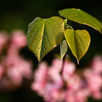 Redbud leaves and flowers in Lexington, Ky., on 4/12/10. Photo by David Stephenson