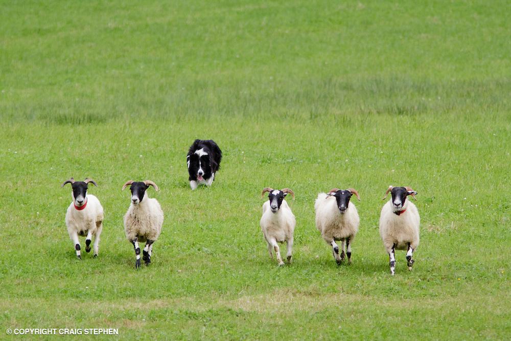 Collie sheepdog herding sheep at trials event.