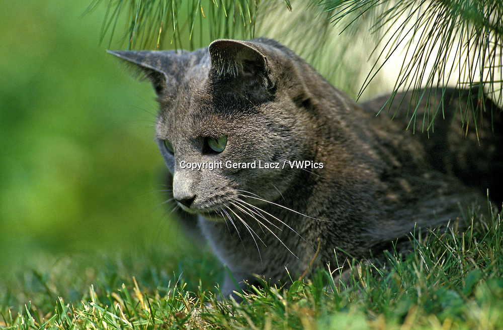 Russian Blue Domestic Cat, Adult standing on Grass