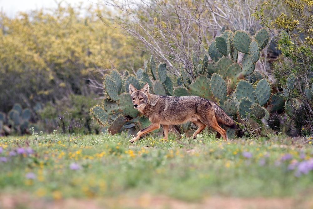 Coyote, Canis latrans;<br /> Photographer:  Eddie Canales <br /> Property:  La Barronena Ranch / Thomas C. Musgrave III<br /> Duval County