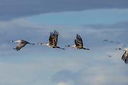 Sandhill Cranes in flight over the Monte Vista National Wildlife Refuge, Colorado