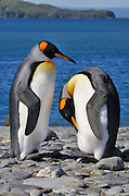 Courting king penguins near the rocky shore line preening.