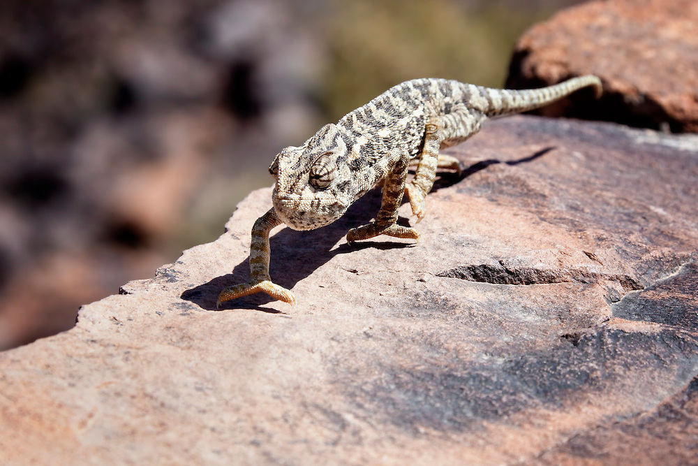 Lizard on stone wall in the Sahara desert of Morocco.