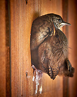Two House Wren Chicks Looking Out of the Nest at My Front Door.. Image taken with a Fuji X-T2 camera and 100-400 mm OIS telephoto zoom lens.