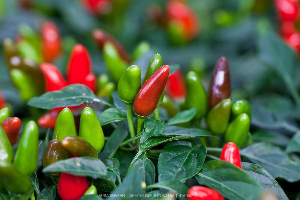 Salsa Red ornamental pepper (Capsicum annuum 'Salsa Red')