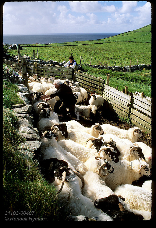 Farmer culls flock of sheep in pen at Dunmore Head near the tip of the Dingle Peninsula in southwest Ireland.