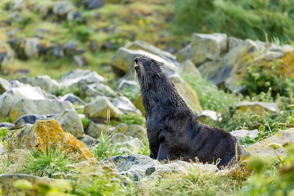 Northern Fur Seal (Callorhinus ursinus) on St. Paul Island in the Pribilofs in Southwest Alaska. Summer. Morning.