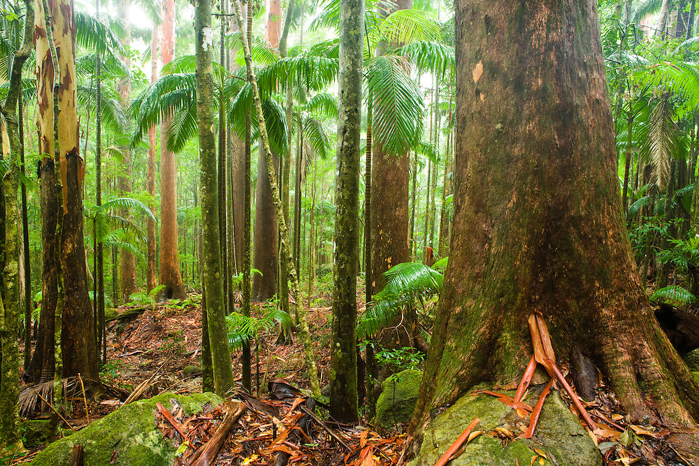 Tall subtropical rainforest within Lamington National Park during rain.