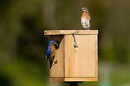 Eastern Bluebirds, Sialia sialis, at a Bluebird box