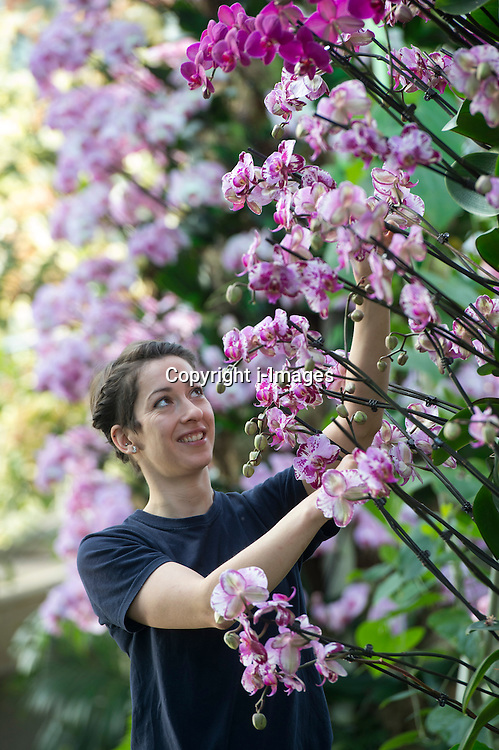 """Royal Botanic Gardens.""""Orchids"""" The Princess of Wales Conservatory has been transformed with a sea of glorious flowers  over 4,500 orchids have been used for the show.Pic Shows Kat Cooke student Horticulturist putting the finishing touches to the  Phalaenopsis variety, Kew Gardens, London, UK, February 7, 2013. Photo by i-Images"""