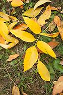 Yellow autumn Ash leaves