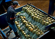 Pineapple farm worker loads and organizes picked pineapples onto a trailer.  Costa Rica is one of the worlds biggest exporters of pineapples.