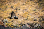 Patagonia, Eagle, Feeding young,