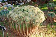 Golden Barrel Cactus Echinocactus Grusonii hildm