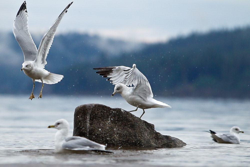 A seagull takes flight after being driven off a rock by another bird in the flock Thursday near the North Idaho College beach.