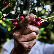 Organic coffee cultivation in Mexico